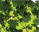 NCI-leaves