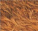NCI-wheat