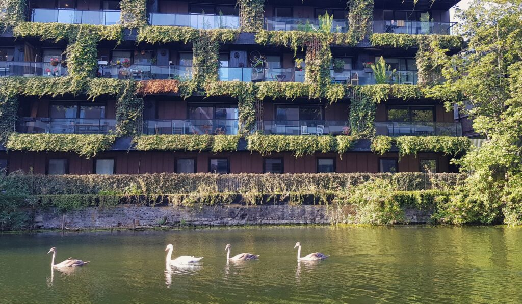 Swans gliding past a building with a green wall on a canalside