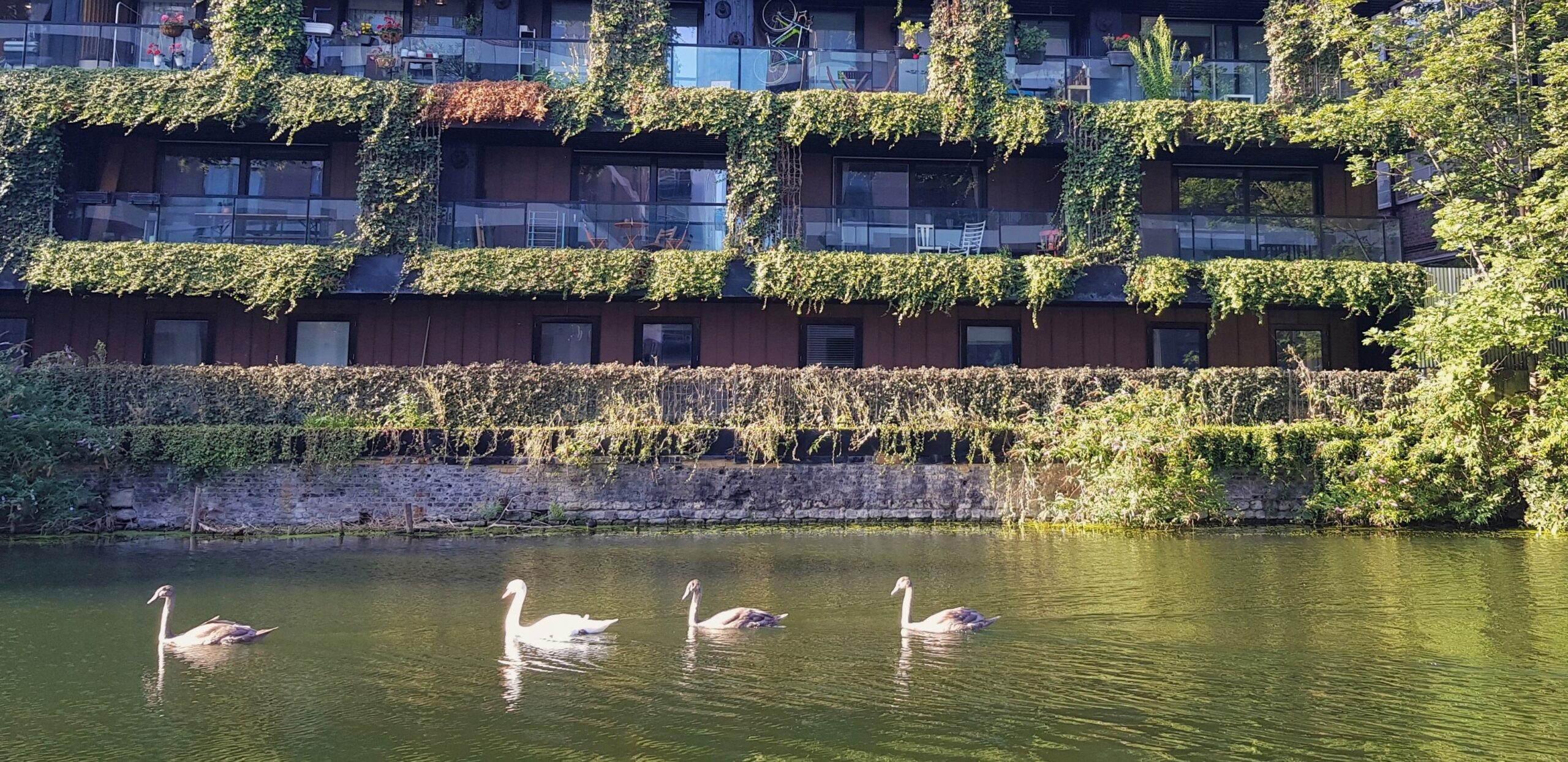 Swans gliding past a building with a green wall on the canal
